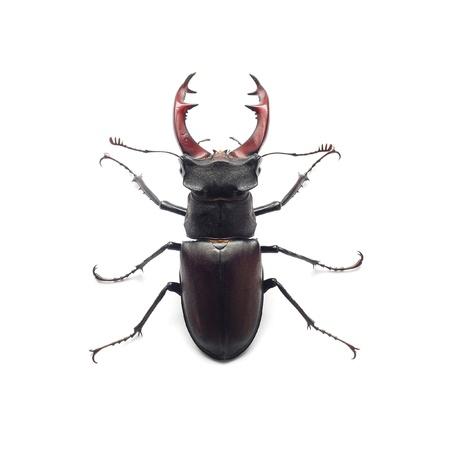 escarabajo: ciervo volante
