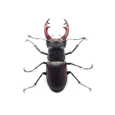 stag: stag beetle Stock Photo