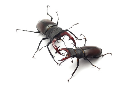 stag beetles fighting