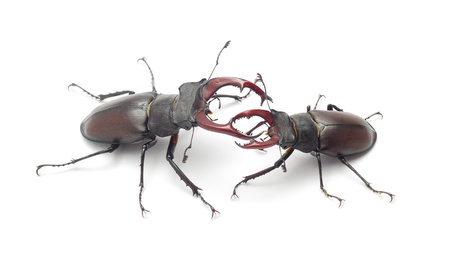 stag: Stag beetles fighting
