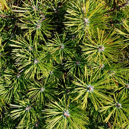pine tree  Stock Photo - 12959058