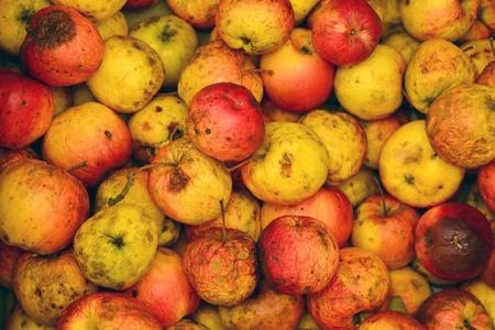 bad apple:   rotten apples