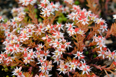acre: sedum acre wild perennial flowers