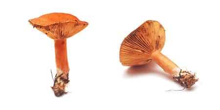 lactarius: lactarius deliciosus mushroom, also known as milk-cap mushroom Stock Photo