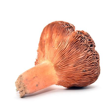lactarius: lactarius volemus mushroom  Stock Photo