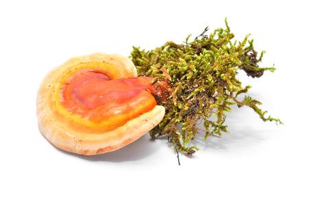 ganoderma lucidum, the lingzhi or reishi mushroom