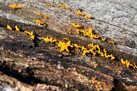 cornea: calocera cornea fungus on wood Stock Photo