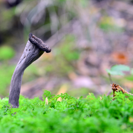plenty: craterellus cornucopioides, horn of plenty, mushroom