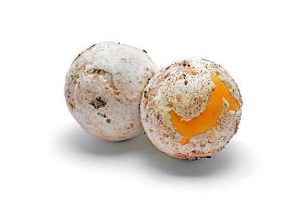 white yummy: Caesars mushroom, amanita caesarea