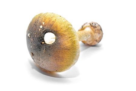 Amanita phalloides Banque d'images