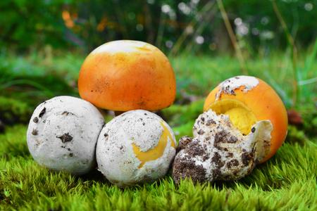 amanita caesarea mushroom