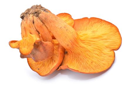 toxic omphalotus olearius mushroom
