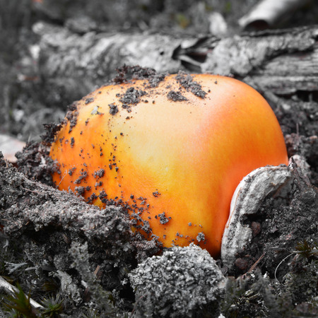 caesars mushroom bulb Stock Photo
