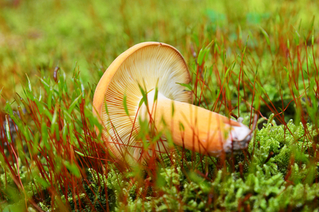 lactarius: edible lactarius volemus mushroom