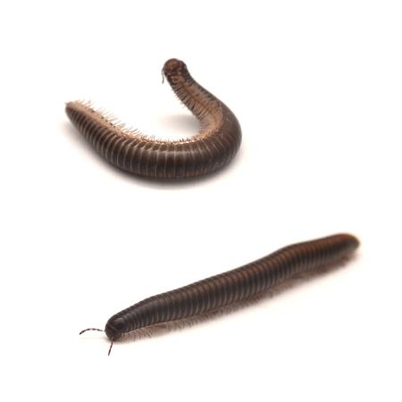 milipede myriapod