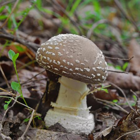 amanita pantherina mushroom Stock Photo