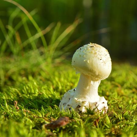 amanita citrina mushroom clsoe up