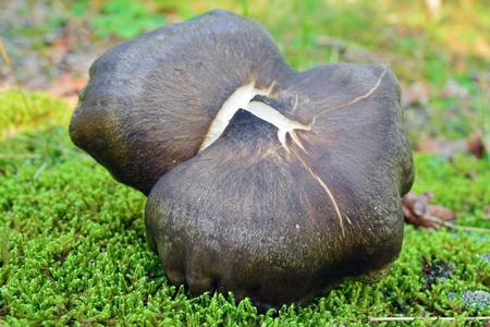 rare rhodocybe obscura mushroom