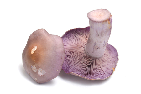 lepista nuda mushroom