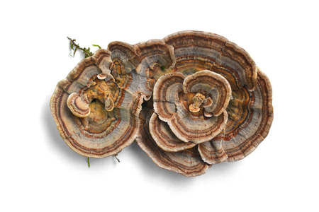 trametes versicolor mushroom, commonly the turkey tail