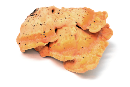 Laetiporus sulphureus mushroom, crab-of-the-woods, sulphur polypore, sulphur shelf, chicken-of-the-woods  Stock Photo