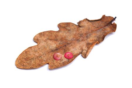 neuroterus quercusbaccarum 담낭에 오크 잎, spangle gall 기생충 스톡 콘텐츠