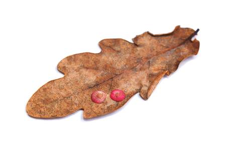 neuroterus quercusbaccarum gall parasite on oak leaf, spangle gall
