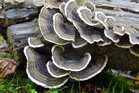 trametes versicolor, also known as coriolus versicolor and polyporus versicolor mushroom  版權商用圖片