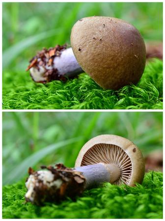 cortinarius torvus, stocking webcap, mushroom Stock Photo