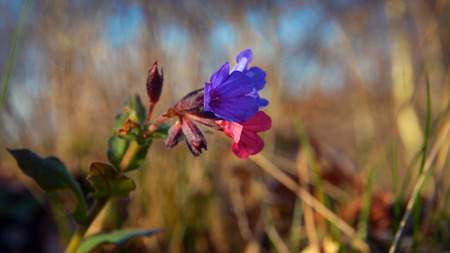Pulmonaria officinalis flower known as lungwort Stock Photo