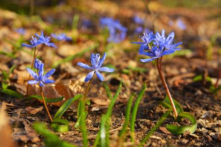 scilla bifolia flower, known as the alpine squill Stock Photo