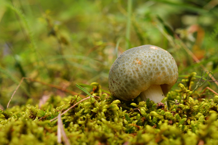 russula virescens mushroom, known as the green brittlegill and green cracking russula