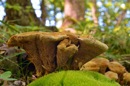 very rare hydnellum compactum mushroom, vulnerable species on red data list Stok Fotoğraf