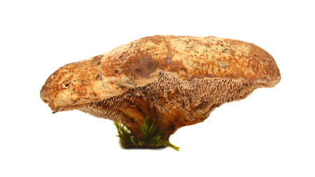 Very rare hydnellum compactum mushroom, vulnerable species on red data list