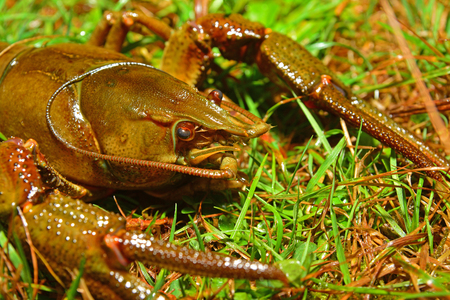 Austropotamobius pallipes, commonly known as the white-clawed crayfish, endangered species