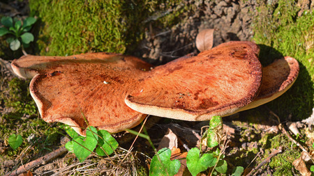 Fistulina hepatica mushroom, also known as the ox tongue or beefsteak fungus