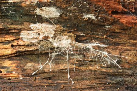 Closeup of a mushroom mycelium on wood Stock Photo