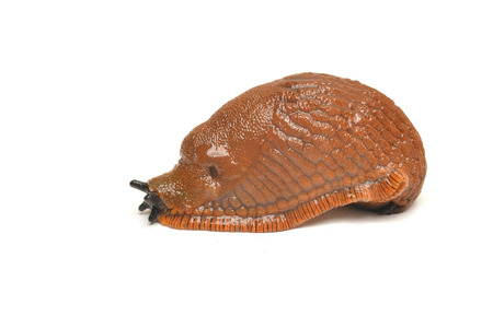 Arion rufus, the red slug or chocolate arion isolated on white