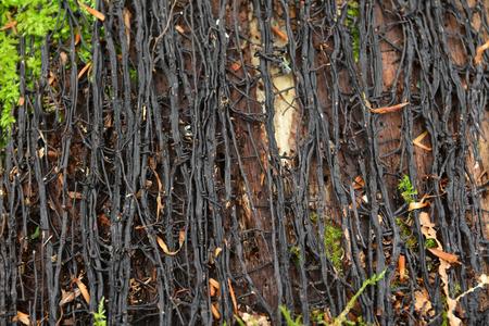 mycelium, mycelial cords on tree stump
