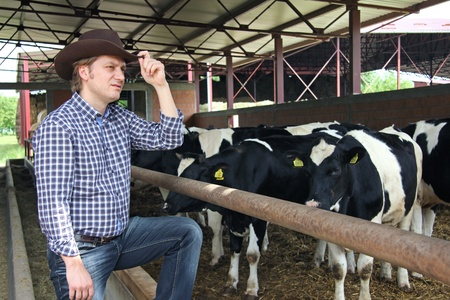 working cowboy: Cowboy and Cows Stock Photo