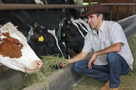 agricultor: Vacas Granjero alimentaci�n Foto de archivo