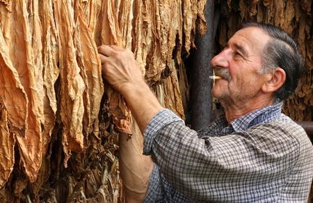 hombre fumando puro: El secado del tabaco