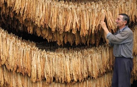 hombre fumando puro: Farmer controla la hoja de tabaco seca en la secadora