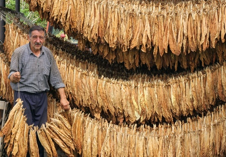 Farmer controls dry tobacco leaf photo