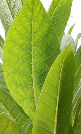 the dry leaves: Hoja de tabaco Foto de archivo