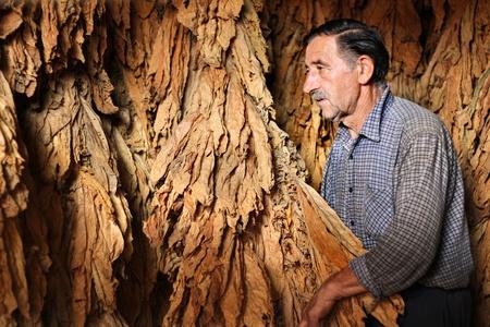 tabaco: Farmer controla la hoja de tabaco seca en la secadora