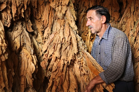 Farmer controls dry tobacco leaf in the dryer photo