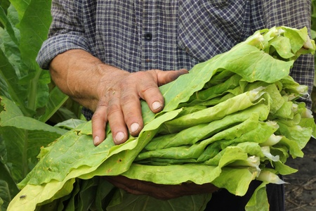 tobacco plants: Farmer harvest tobacco in the field