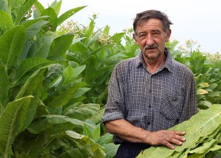 Farmer harvest tobacco in the field