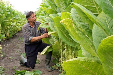 tobacco plants: Farmer looks tobacco in the field Stock Photo